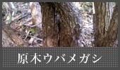 原木ウバメガシ