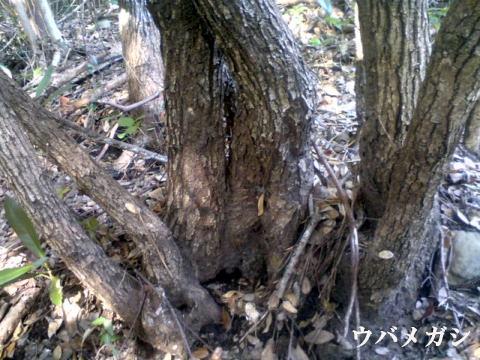 紀州備長炭の原木ウバメガシの根元