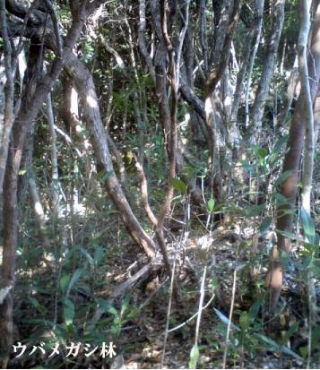 紀州備長炭の原木ウバメガシの林